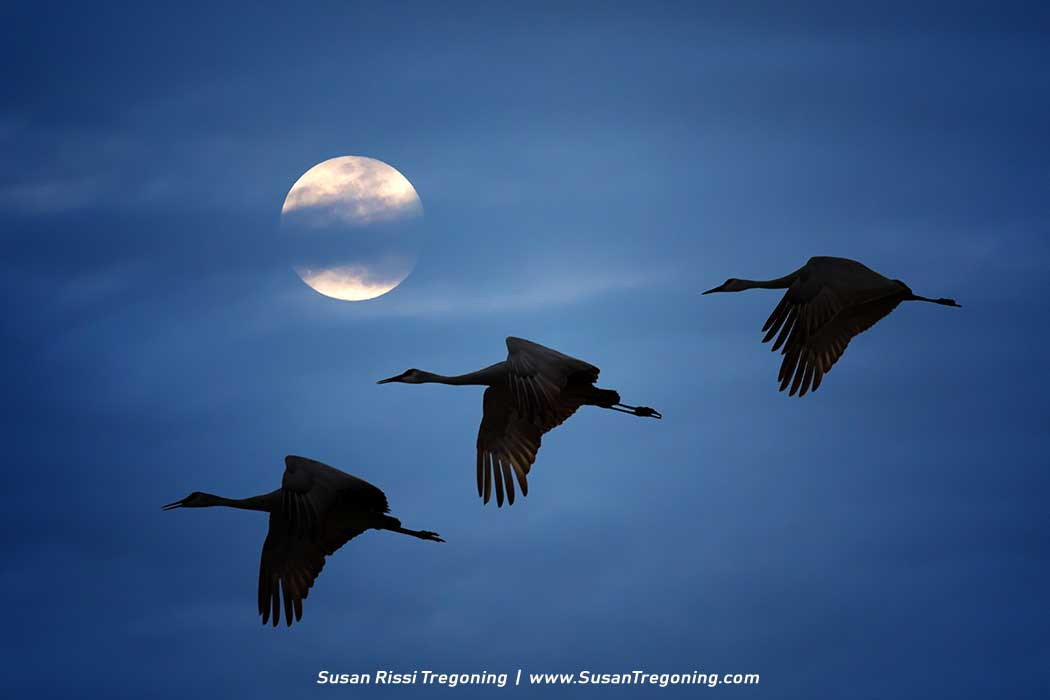 Sandhill Cranes fly across a moonlit sky traveling to their nightly roost on the Platte River in Central Nebraska. Copyright 2017 Susan Rissi Tregoning | SusanTregoning.com