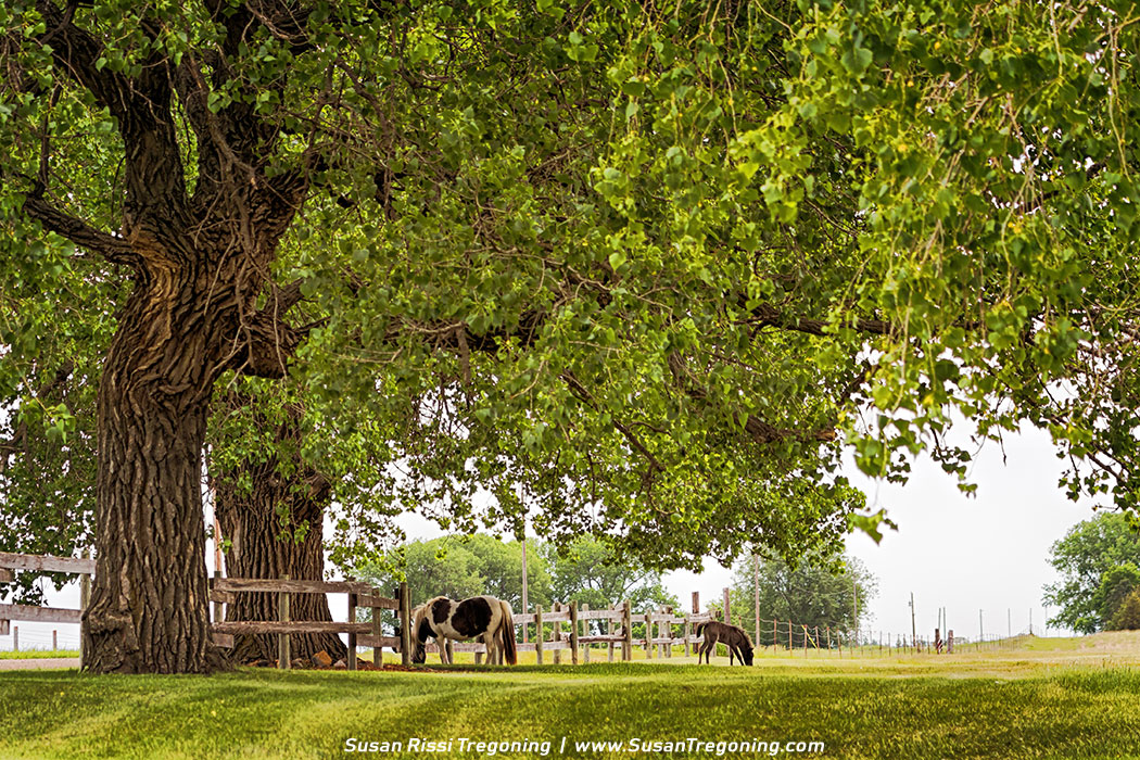 Picture - A Day in the Shade - A mom and her 4 day old foal spend the day in the shade of an amazing old tree at the Ingalls Homestead in DeSmet, South Dakota.